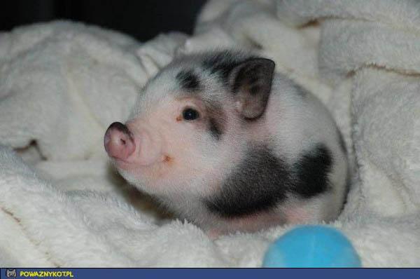 Śmiejąca się świnka